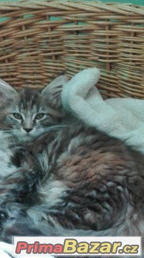Prodám mainská mývalí koťátka s PP