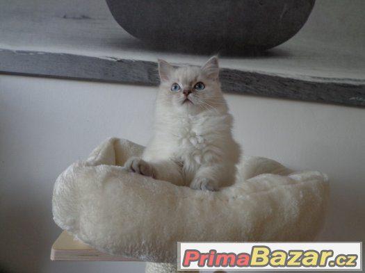 Kočička ragdoll s PP
