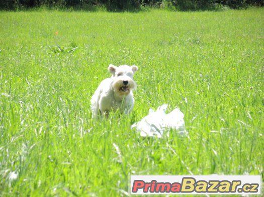 Knírač malý bílý - chovný pes