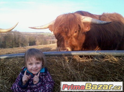 prodám jalovice a býky highland
