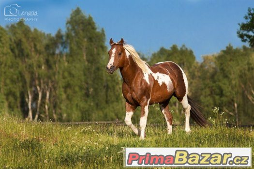 pripousteni-hrebcem-paint-horse-hb-keenshow-rooster