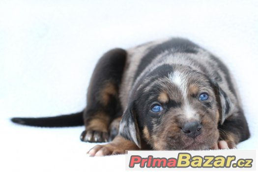 louisiansky-leopardi-pes-stenata-s-pp-louisiana-catahoula