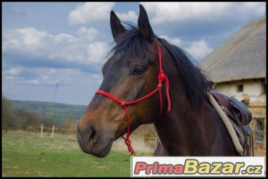 12lety-valach-a1-1-x-welsh-pony
