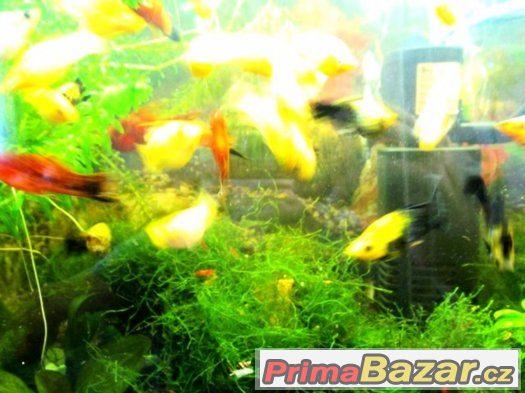 Nabízím akvarijní rybičky  Zlate molli