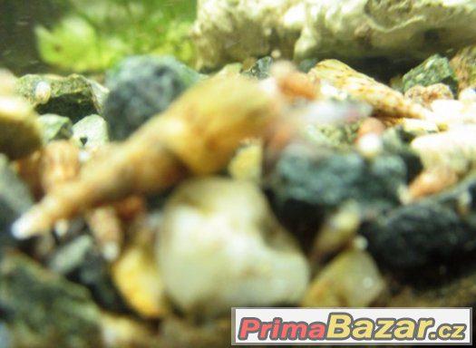 Prodám užitečné akvarijní šneky piskořky věžovité(MELANIE)