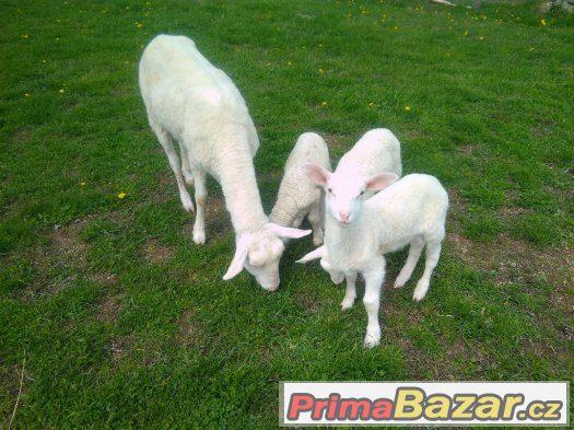 Ošetřoval koní a ovcí - Radešín