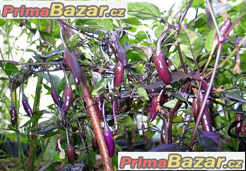 chilli-flurorescent-purple-semena