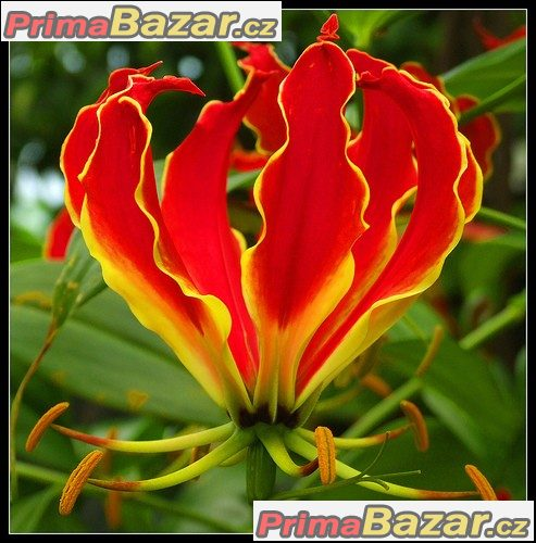 gloriosa-superba-semena