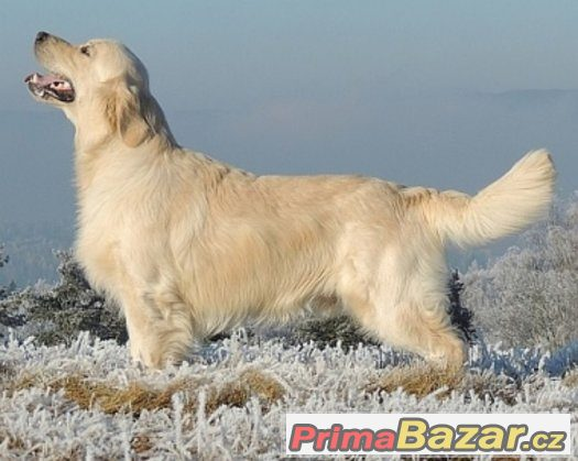 zlaty-retrivr-golden-retriever-s-pp-stenata