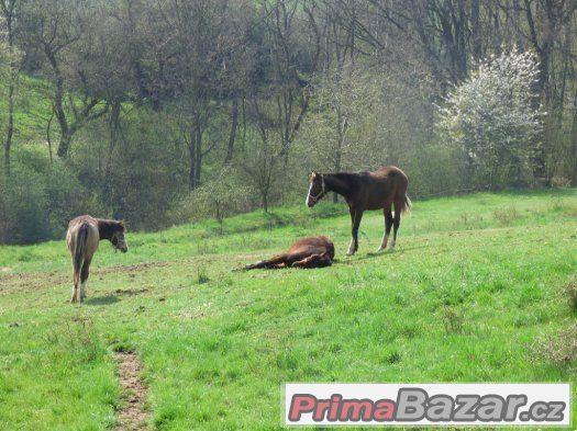 práce u koní -Kroměřížsko