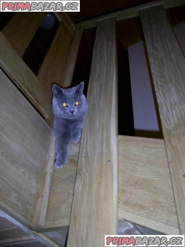 Britský modrý kocourek ke krytí