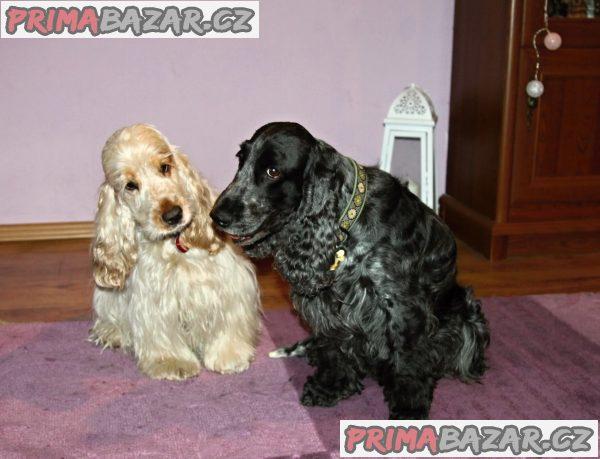 Anglický kokršpaněl - štěně s PP