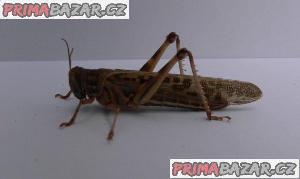 Krmný hmyz (Posíláme poštou)