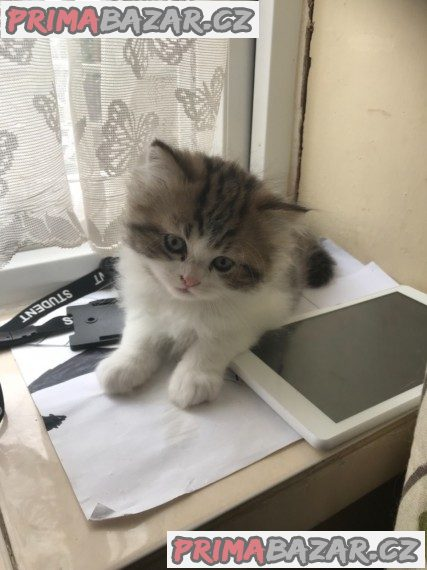 Perská koťata