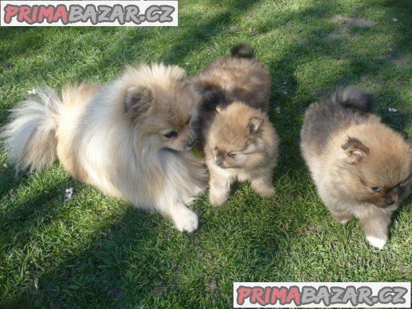 Trpaslicí špic/Pomeranian na prodej s PP