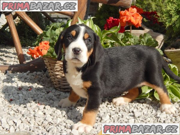 Veľký švajčiarsky salašnícky pes