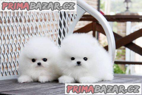 Nádherná čajka Pomeranian štěňata