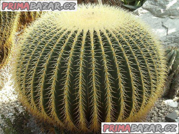 kaktus Echinocactus grusonii - semena