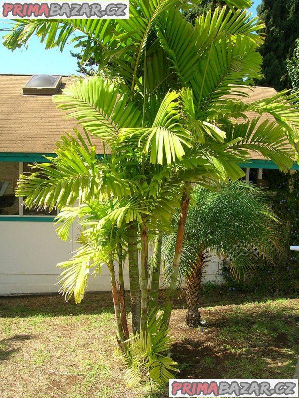 Palma Ptychosperma macarthurii - naklíčená semena