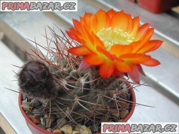 kaktus Acanthocalycium aurantiacum - semena