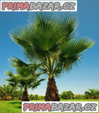 Washingtonia filifera - sazenice