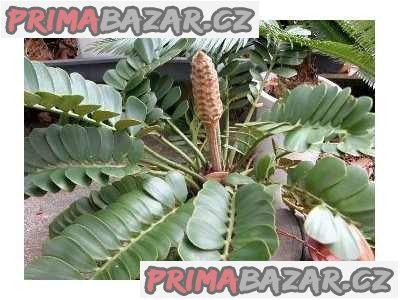 Cykas Zamia Furfuracea - naklíčená semena