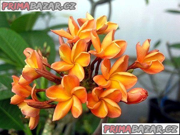 Plumeria Frangipani Orange - semena