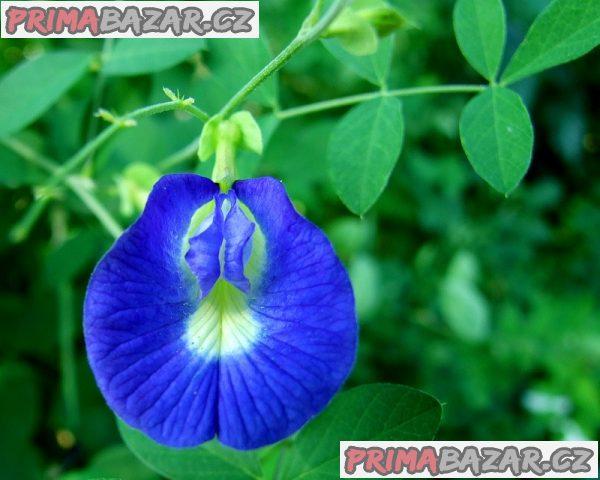 Clitoria Ternatea - semena