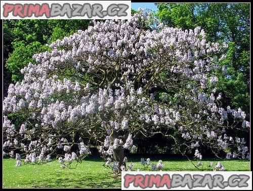 Paulownia Tomentosa - sazenice
