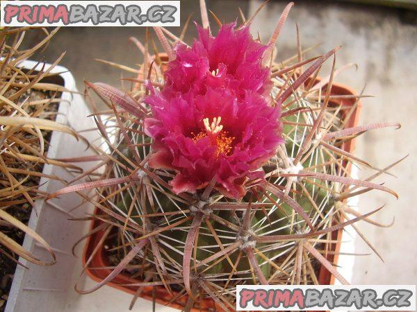Kaktus Ferocactus fordii - semena