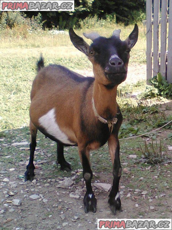 Kamerunská koza
