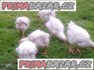 Brojlerová kuřátka