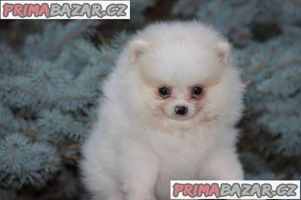 Pomeranian s PP