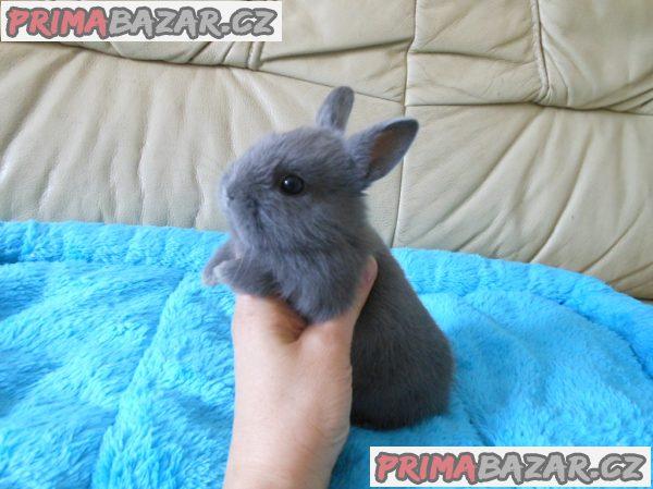 Zakrslý králíček modrý