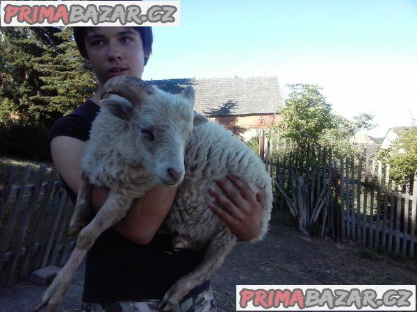 prodám qusantské ovečky a beránka