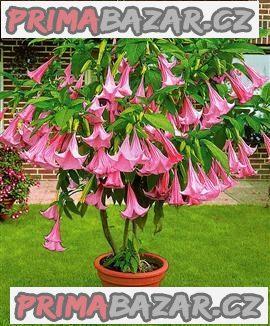 Brugmansia suaveolens - řízek