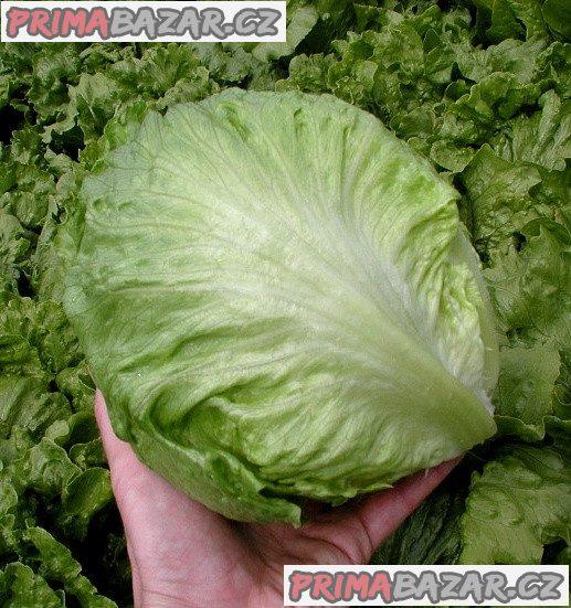 Salát Maximo - semena