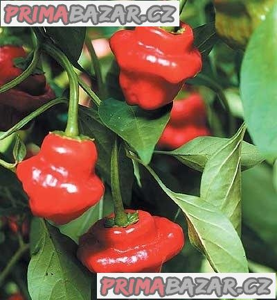 chilli-jamaican-red-semena