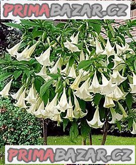 Brugmansia arborea - řízek