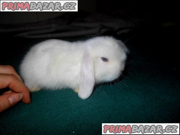 Zakrslý králíček Minilop x NHD satén