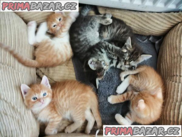 Prodám mainská mývalí koťátka