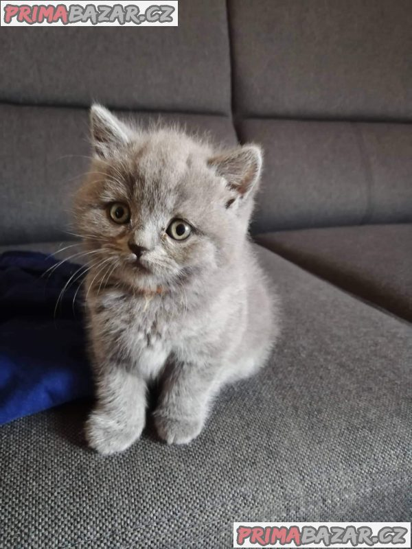 Britská koťata