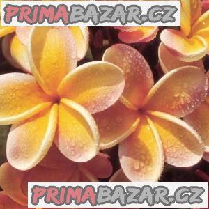 Plumeria Frangipani Pinwheel - semena