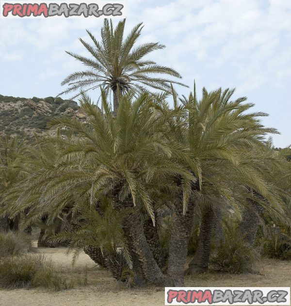 Phoenix theophrasti - naklíčené semeno