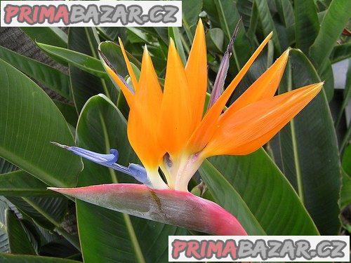Strelitzia Reginae - naklíčené semeno
