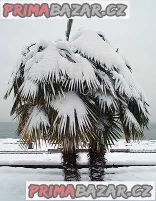Trachycarpus fortunei - naklíčená semena (velké balení)