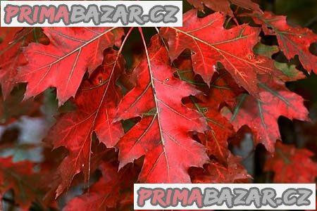 Dub červený - dub americký, sazenice