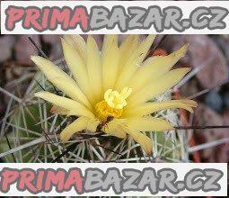 Coryphantha gladispina - semena