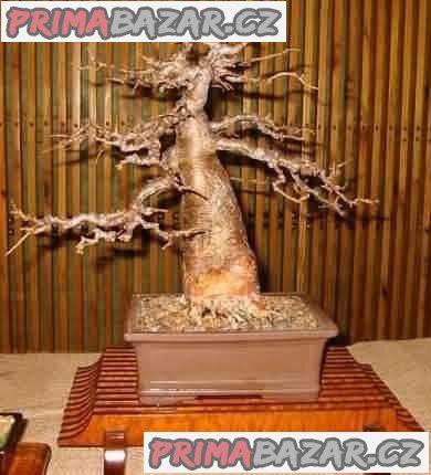 Baobab (Adansonia Digitata) - sazenice