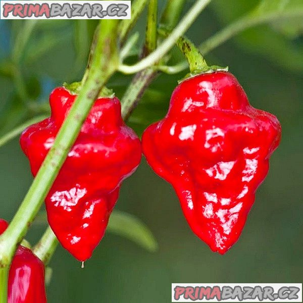 Chilli Habanero Tasmanian Red - semena